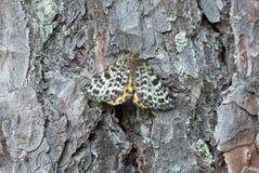 被察觉的秀丽,基于杉木吠声的Arichanna melanaria 图库摄影