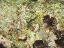 被察觉的粘鱼红色 图库摄影