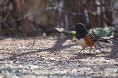 被察觉的红眼雀(Pipilo maculatus)身分 免版税库存图片