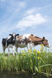 被察觉的红色和黑母牛在有黄色花的绿色象草的草甸站立在天空蔚蓝下在荷兰 免版税库存照片