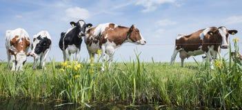 被察觉的红色和黑母牛在有黄色花的绿色象草的草甸站立在天空蔚蓝下在荷兰 图库摄影