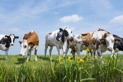 被察觉的红色和黑母牛在有黄色花的绿色象草的草甸站立在天空蔚蓝下在荷兰 免版税库存图片