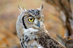 被察觉的老鹰猫头鹰画象 免版税库存图片