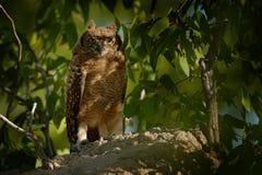 被察觉的老鹰猫头鹰,腹股沟淋巴肿块africanus,是非洲猫头鹰在自然栖所在Etocha NP,纳米比亚,非洲 与树的习惯晚睡的人 图库摄影