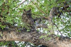 被察觉的老鹰猫头鹰在克鲁格国家公园,南非 图库摄影