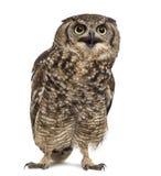 被察觉的老鹰猫头鹰-腹股沟淋巴肿块africanus 库存照片