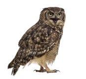 被察觉的老鹰猫头鹰-腹股沟淋巴肿块africanus 免版税库存照片