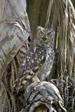 被察觉的老鹰猫头鹰(Bufo africanus) 免版税库存照片