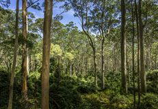 被察觉的胶森林澳大利亚 免版税库存图片