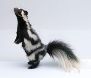 被察觉的臭鼬,站起来在白色背景 库存照片