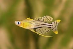被察觉的蓝眼睛的绿锦鱼Pseudomugil gertrudae水族馆鱼Gertrude& x27; s青眼睛 库存照片