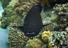 被察觉的蓝色石斑鱼 库存图片