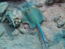 被察觉的蓝色鱼蜥蜴光芒 库存照片