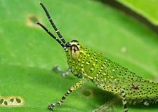 被察觉的蚂蚱宏观照片在绿色叶子的 免版税库存照片
