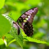 被察觉的蝴蝶绿色 库存图片
