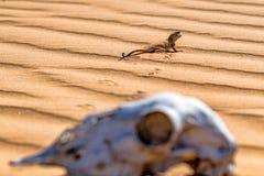 被察觉的蟾蜍带头的蜥蜴和马` s头骨关闭 库存照片