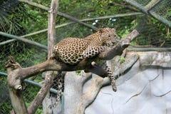 被察觉的豹子 免版税库存照片