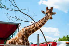 被察觉的长颈鹿头 库存照片