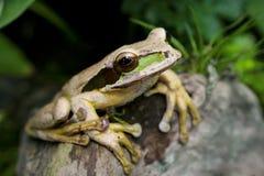 被察觉的青蛙格斯达里加 库存照片