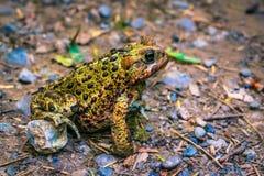 被察觉的青蛙 库存照片