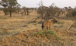 被察觉的非洲鬣狗 库存图片