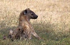 被察觉的非洲鬣狗 库存照片