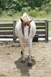 被察觉的马画象  库存图片