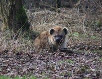 被察觉的鬣狗休息 免版税库存照片