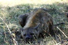 被察觉的鬣狗关闭遭遇 免版税库存照片