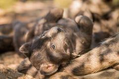 被察觉的鬣狗小狗在克留格尔国家公园 库存图片