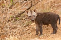 被察觉的鬣狗小狗 库存照片