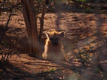 被察觉的鬣狗小狗 免版税库存照片
