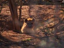 被察觉的鬣狗小狗 免版税库存图片