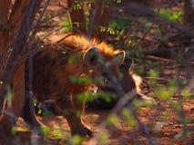 被察觉的鬣狗小狗 库存图片