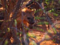 被察觉的鬣狗小狗 图库摄影