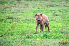 被察觉的鬣狗或斑鬣狗在大草原 免版税库存照片