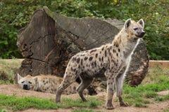 被察觉的鬣狗斑鬣狗斑鬣狗 免版税图库摄影