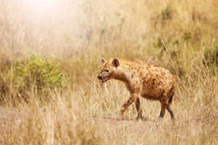 被察觉的鬣狗旁边画象在草的 图库摄影