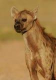 被察觉的鬣狗纵向 库存图片