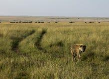被察觉的鬣狗肯尼亚非洲 免版税图库摄影