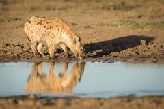 被察觉的鬣狗,在塞伦盖蒂的饮用水,坦桑尼亚 图库摄影