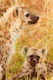 被察觉的鬣狗,马塞语玛拉 免版税库存图片