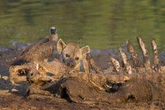被察觉的鬣狗(斑鬣狗斑鬣狗)在河马(河马上午 库存图片