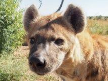 被察觉的鬣狗(斑鬣狗斑鬣狗)特写镜头 免版税库存照片