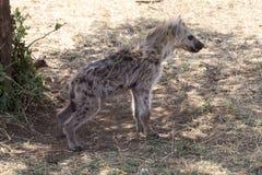 被察觉的鬣狗(斑鬣狗斑鬣狗) 免版税图库摄影