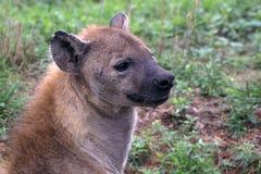 被察觉的鬣狗(斑鬣狗斑鬣狗) 库存照片