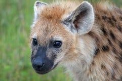 被察觉的鬣狗(斑鬣狗斑鬣狗) 免版税库存图片