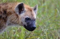 被察觉的鬣狗(斑鬣狗斑鬣狗) 库存图片