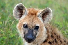 被察觉的鬣狗(斑鬣狗斑鬣狗) 免版税库存照片