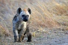 被察觉的鬣狗(斑鬣狗斑鬣狗)崽 库存照片